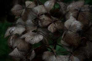 i-fiori-morti-ortensie-1a90fcb6-0c79-4456-95f1-4e8e1d6c5e91
