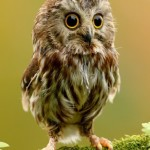 gufo-gufetto-baby-owl-pup