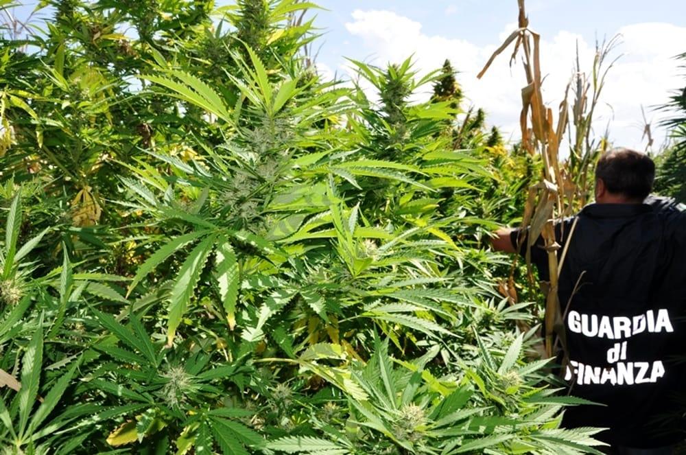 piantagione marijuana 2-2