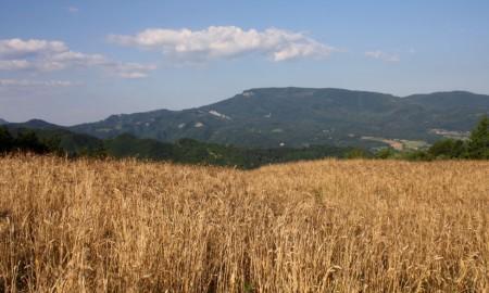 campo di grano Senatore Cappelli nel crotonese