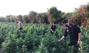 Droga: trovata maxi piantagione canapa nel reggino, due arresti