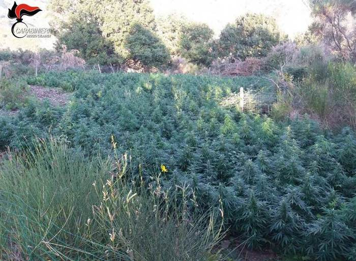 piantagioni canapa indiana rinvenute dai carabinieri Bagaladi droga
