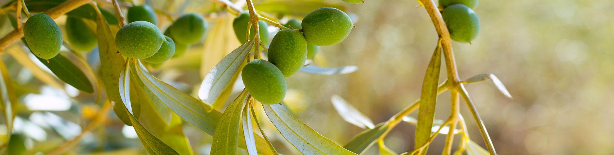 olive_calabresi