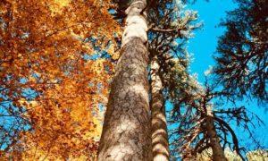 Foliage ai Giganti della Sila, Spezzano della Sila (CS), 2017©FAI - Fondo Ambiente Italiano 1